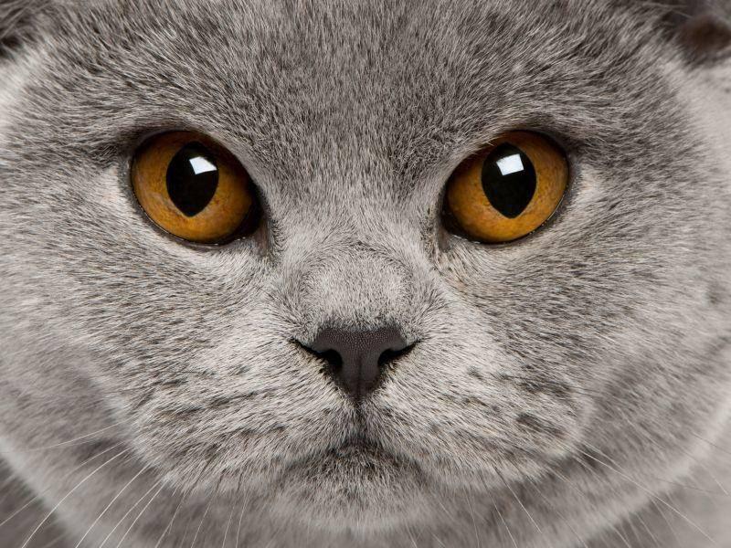 So sieht die Britisch Kurzhaar von Nahem aus – Bild: Shutterstock / Eric Isselee