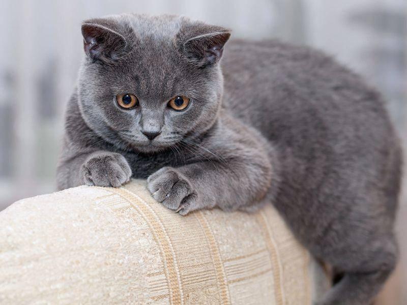 Die BKH ist eine gemütliche Katze – Bild: Shutterstock / max777