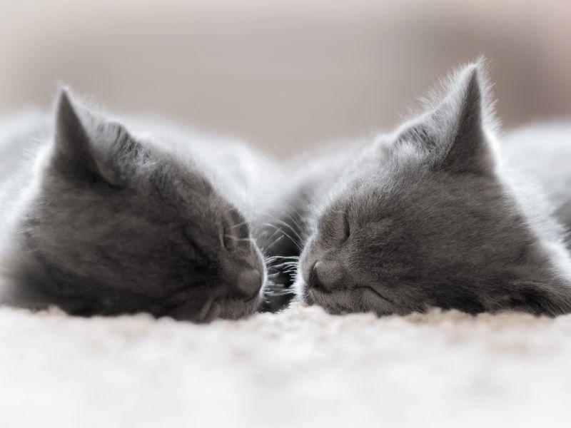 Diese beiden süßen BKHs müssen noch groß und stark werden – Bild: Shutterstock / VladimirE
