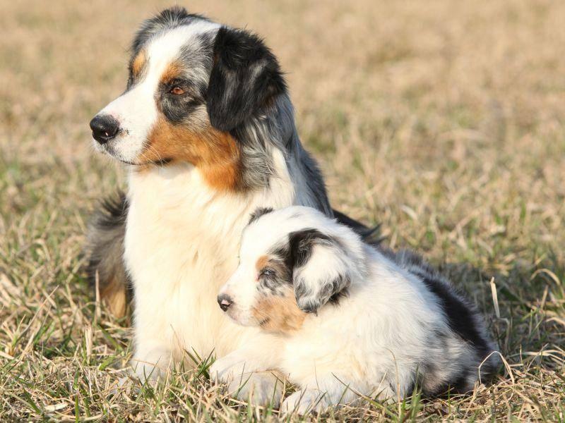 Dream-Team: Mama- und Baby-Aussie halten Ausschau – Bild: Shutterstock / -Zuzule
