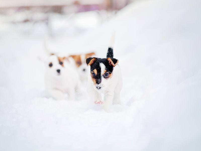 Diese beiden Jack-Russell-Welpen sieht man kaum noch im Schnee – aber Spaß machts trotzdem! – Bild: Shutterstock / Ksenia Raykova