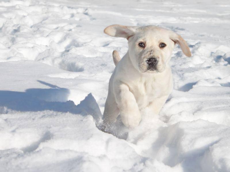 Junger Labrador: Im Schnee rennen macht Spaß! – Bild: Shutterstock / Stephanie Zieber