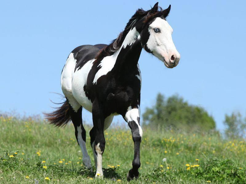 Dieses Paint Horse bezaubert mit leuchtend blauen Augen – Bild: Shutterstock / Zuzule
