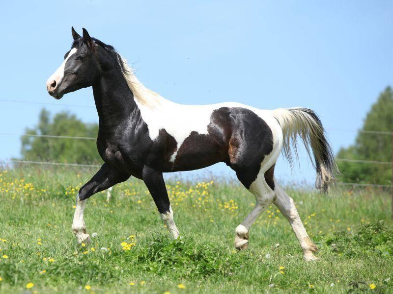 Elegantes Tier: Ein junger Paint-Horse-Hengst im Trab – Bild: Shutterstock / Zuzule