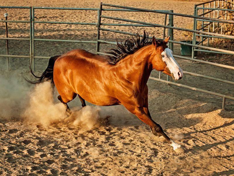 Bei diesem Paint Horse fällt vor allem die weiße Maske auf – Bild: Shutterstock / Horse Crazy