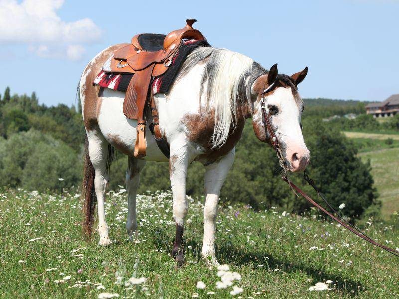 Meist wird der schöne amerikanische Vierbeiner als Westernpferd eingesetzt – Bild: Shutterstock / Zuzule