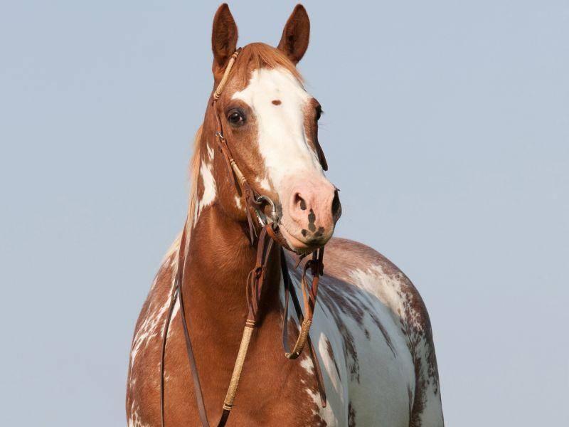 Ein Stockmaß von 142 bis 158 cm ist beim Paint Horse normal – Bild: Shutterstock / Lenkadan