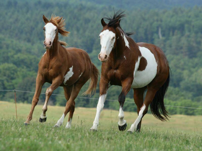 Hübsche Kraftpakete: Paint Horses fallen durch ihr buntes Muster und die muskulöse Statur auf – Bild: Shutterstock / Zuzule