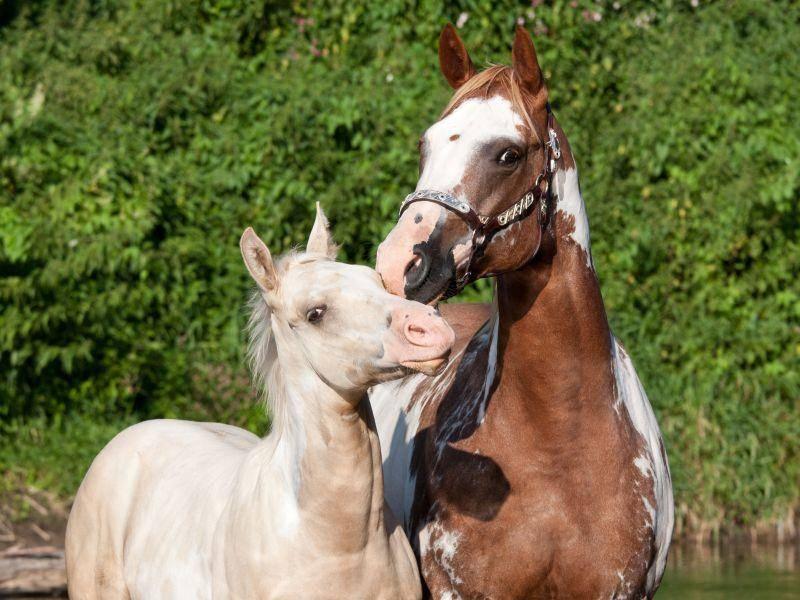 Braun- oder schwarzgescheckt: Paint Horses kommen in den verschiedensten Farbvariationen vor – Bild: Shutterstock / outdoorsman