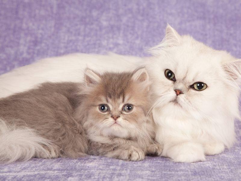 Dieses schöne Perserkitten posiert am liebsten mit seiner Mama – Bild: Shutterstock / Linn Currie