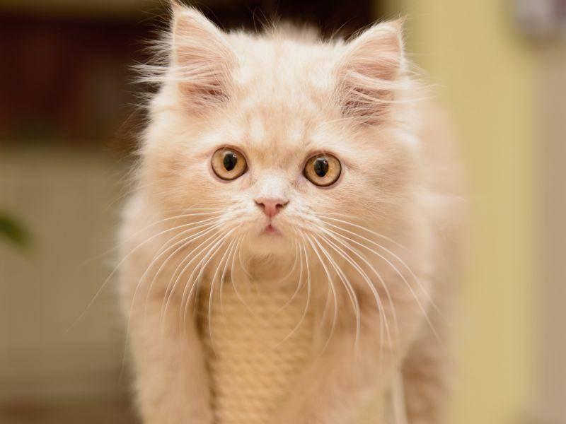 Ein bisschen herumhängen: Die meisten Perserkatzen lassen es am liebsten gemütlich angehen – Bild: Shutterstock / Inna Astakhova