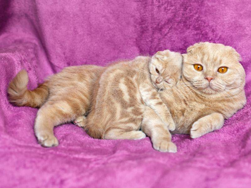 Hübsches rotes Scottish-Fold-Kätzchen hat seine Mama so lieb! – Bild: Shutterstock / vvvita
