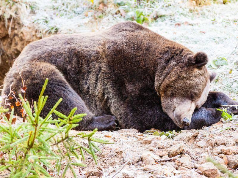 ... aber die meiste Zeit verbringt er im Schlaf. Natürlich normalerweise in seiner Höhle – Bild: Shutterstock / Jarry