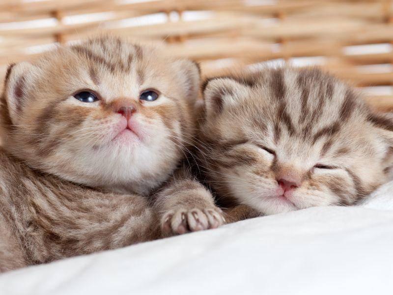 Ob diese Scottish-Fold-Katzenbabys umgeklappte Ohren bekommen? Die Chance steht 50 zu 50 – Bild: Shutterstock / Oksana Kuzmina