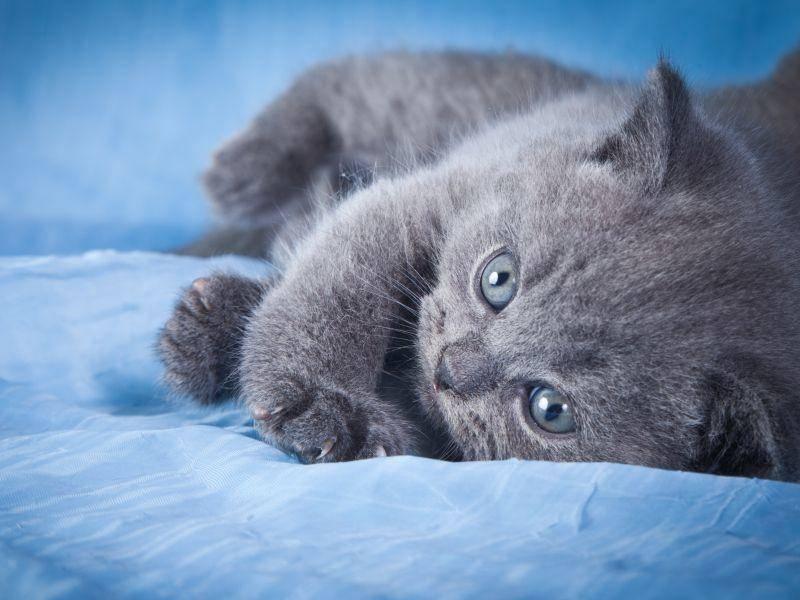 So sieht die flauschige BKH als Babykatze aus – Bild: Shutterstock / dezi