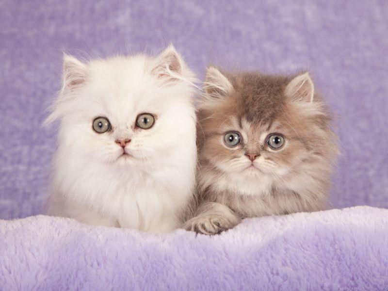 Zwei flauschige Perserkatzenbabys kuscheln sich zusammen – Bild: Shutterstock / Linn Currie