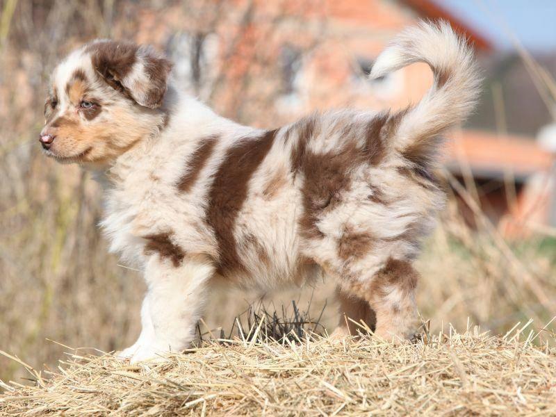 Bei Australian Shepherds sind die hübschesten Farben zu sehen – Bild: Shutterstock / Zuzule