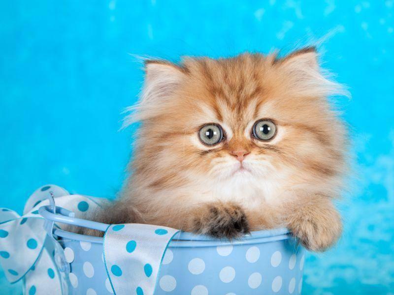 Große Augen, frecher Blick: Auch dieses Perserkatzenbaby ist entzückend – Bild: Shutterstock / Linn Currie