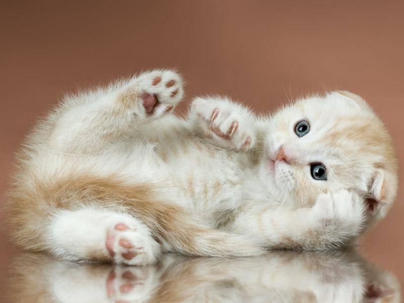 """""""Ups, ich bin hingefallen!"""" – Macht doch nichts, kleines Scottish-Foldkätzchen! – Bild: Shutterstock / tankist276"""