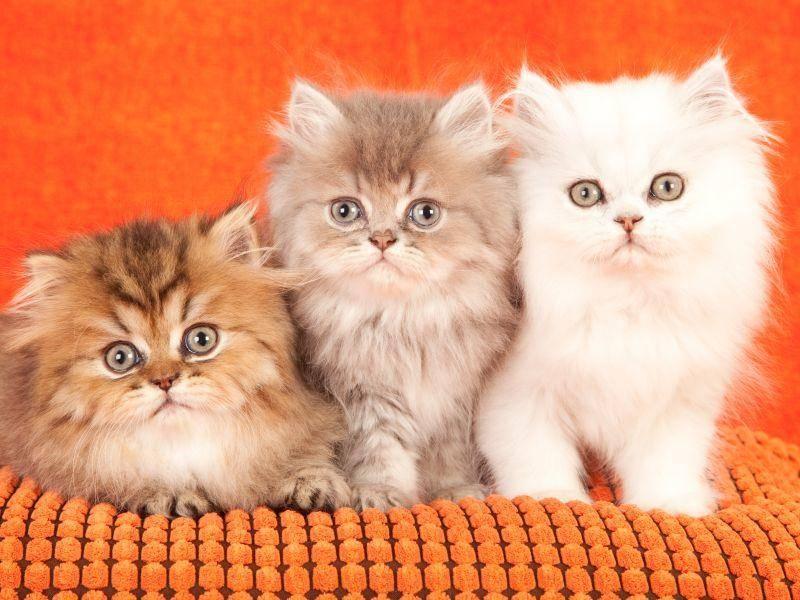 Drei süße Perserkatzenbabys, drei süße Farbvariationen – Bild: Shutterstock / Linn Currie