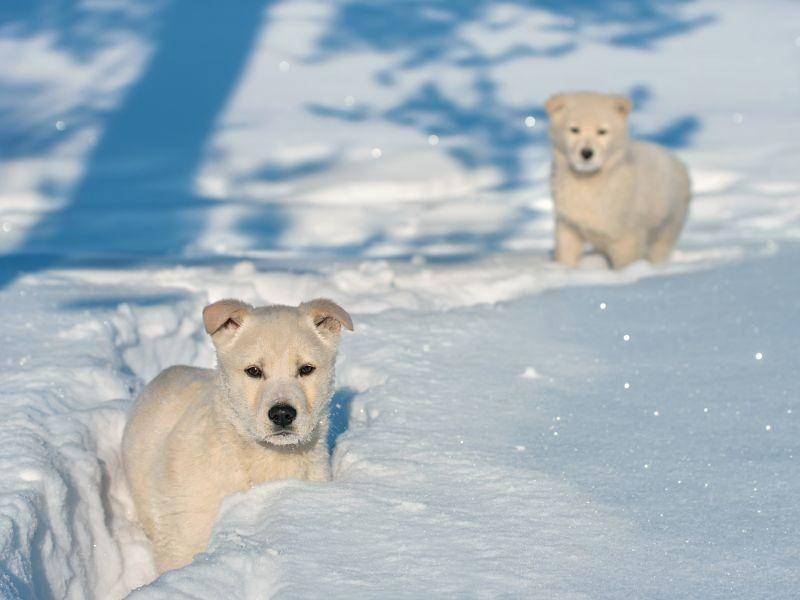 Diese süßen Welpen könnten auch glatt als Eisbärbabys durchgehen – Bild: Shutterstock / Leonid Ikan