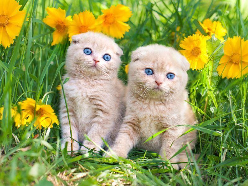 Der erste Ausflug ist aufregend, finden diese Scottish Fold Katzen– Bild: Shutterstock / vvvita