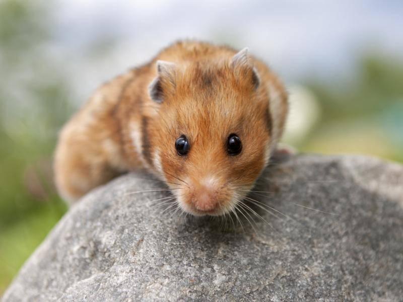 Die süßen Tierchen bringen dabei nur circa 80 bis 150 Gramm auf die Waage – Bild: Shutterstock / Anastasia Solovykh