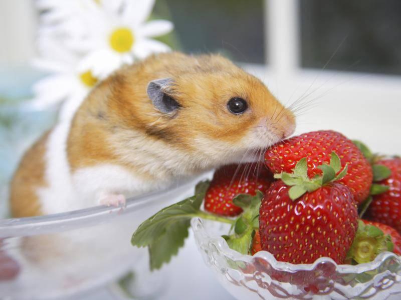 Goldhamster sind Allesfresser und ernähren sich zum Beispiel von Früchten – Bild: Shutterstock / KPG Payless2