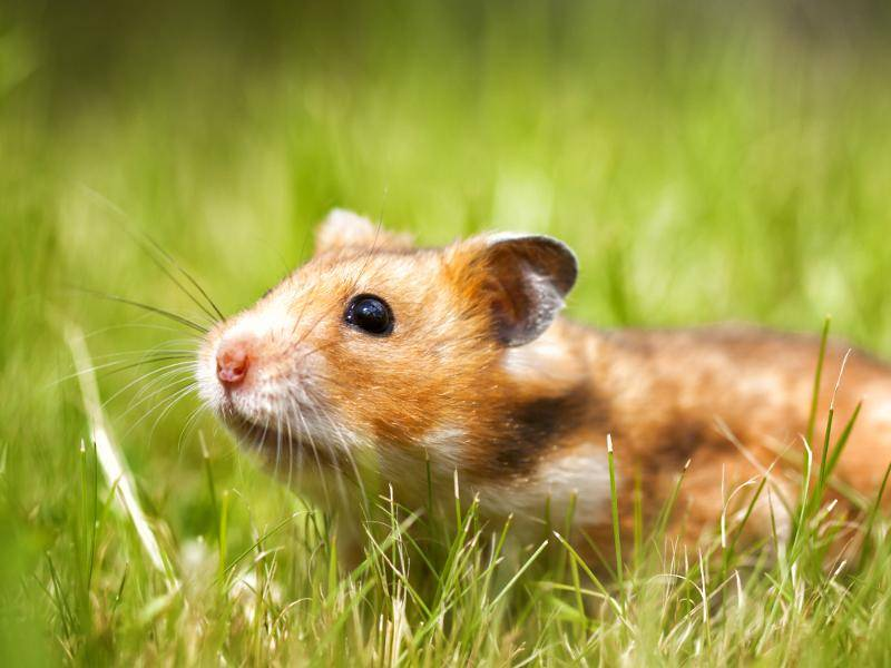 Goldhamster sind auch als Haustiere sehr beliebt – Bild: Shutterstock / Anastasia Solovykh