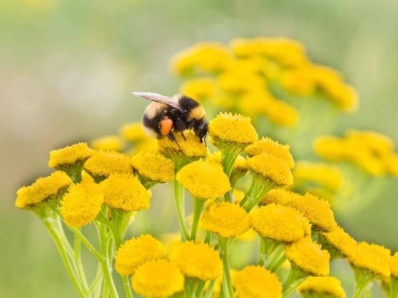 Die letzte Hummel in unserer Bildergalerie: Guten Flug! – Bild: Shutterstock / Kaya