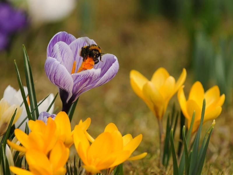 Um die 1000 Blüten werden täglich von einer Hummel angeflogen – Bild: Shutterstock / Laszlo Csoma