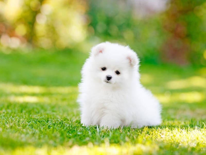 Und auch dieser süße Spitz möchte gerne auf dem Rasen spielen – Bild: Shutterstock / YamabikaY