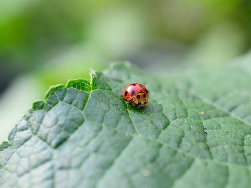 Marienkäfer ernähren sich überwiegend von Blatt- und Schildläusen – Bild: Shutterstock / riamrenu joomna