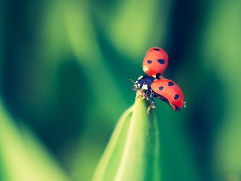 Charakteristisch für Marienkäfer sind ihre Punkte, die meist eine schwarze Farbe besitzen – Bild: Shutterstock / Milosz_G