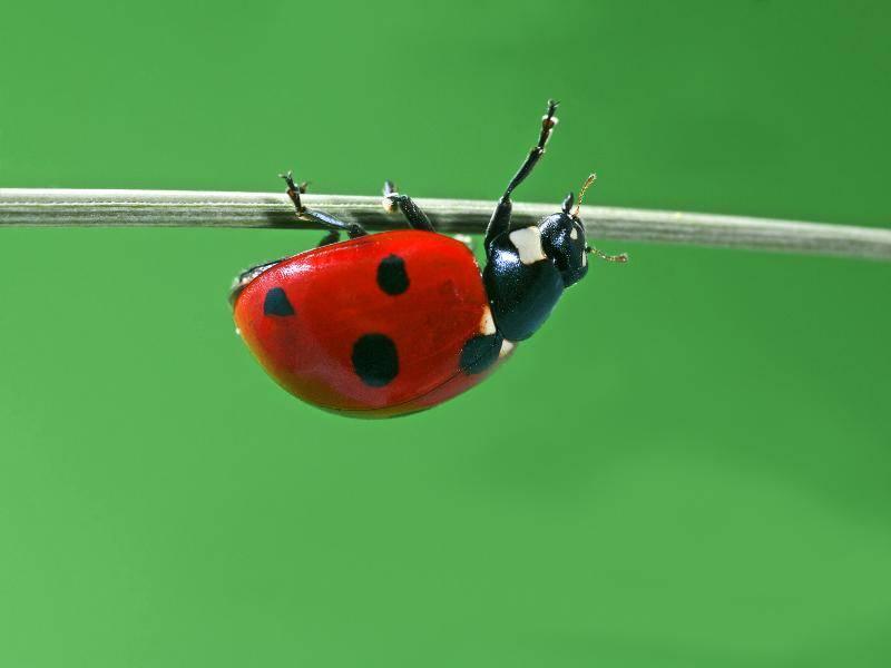 Dieser Marienkäfer hat das Klettern für sich entdeckt – Bild: Shutterstock / A.S.Floro