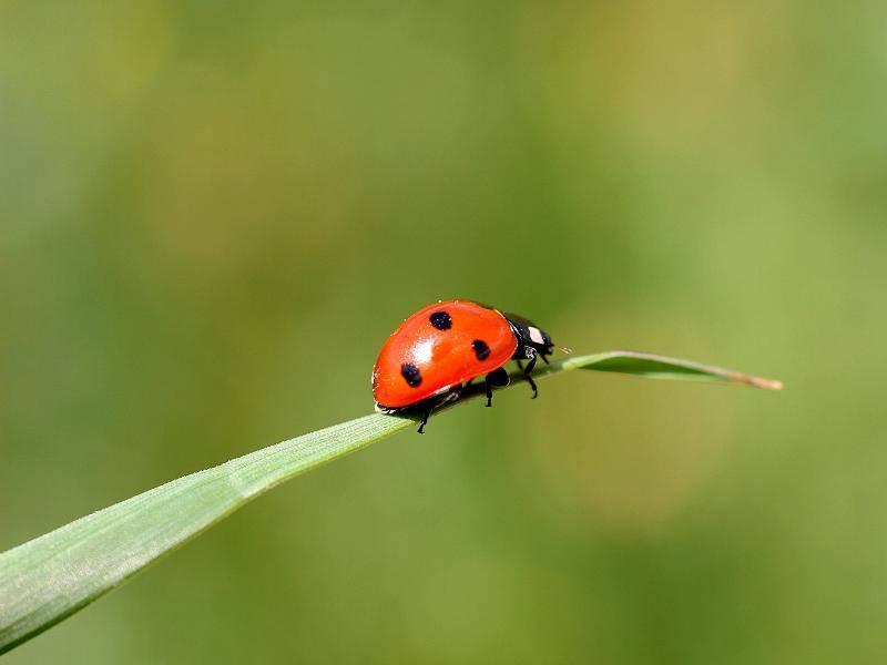 MariMarienkäfer leben außerdem zum Beispiel in Wäldern oder auf Wiesen – Bild: Shutterstock / Bildagentur Zoonar GmbH