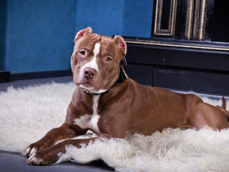 Er ist ein großer, kräftiger und muskulöser Hund – Bild: Shutterstock / dezi