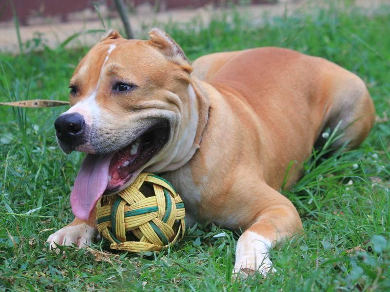 Diese Hunderasse ist bis heute noch nicht weltweit anerkannt – Bild: Shutterstock / Paisarn Praha