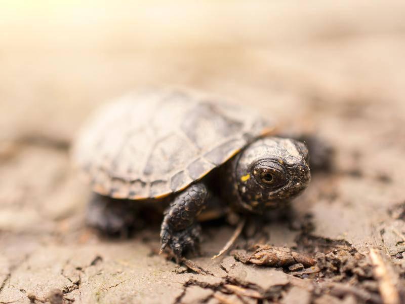 Eine kleine, süße Schildkröten vom Nahen ... Zuckersüß! – Bild: Shutterstock / Thomas_Zsebok