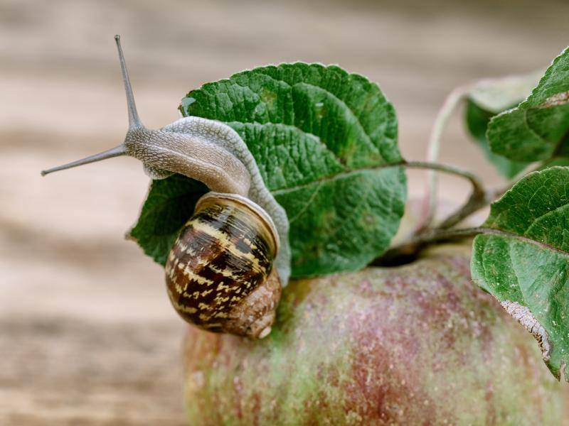 ... so gibt es beispielsweise Pflanzenfresser unter den Schnecken – Bild: Shutterstock / Nailia Schwarz