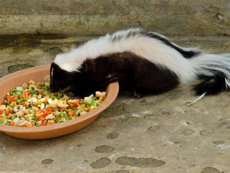 Außerdem sind sie Allesfresser und nehmen tierische Nahrung als auch zum Beispiel Früchte zu sich – Bild: Shutterstock / Teerapun