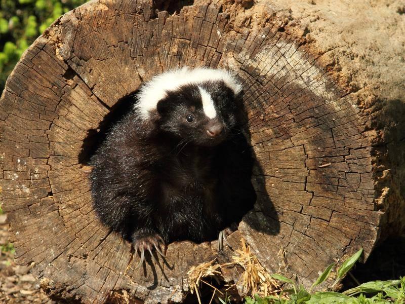 Am Tag ziehen sich die Tiere in ihre Verstecke zurück, während sie bei Dämmerung oder in der Nacht aktiv sind – Bild: Shutterstock / Cynthia Kidwell