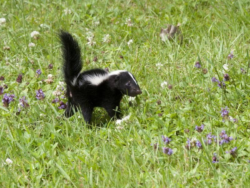 Skunks suchen sich als Unterkunft ein Vesteck im Wald, Halbwüsten oder Steppen – Bild: Shutterstock / Debbie Steinhausser