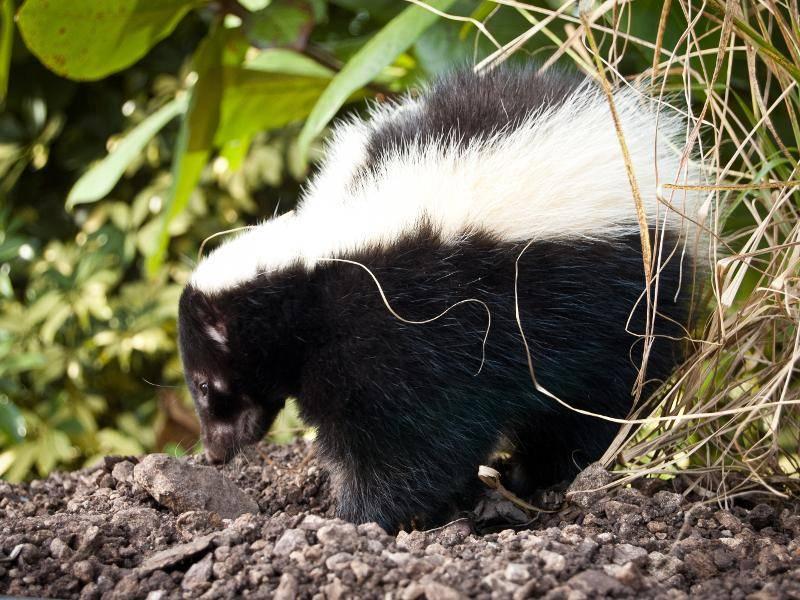 Wenn es Nacht wird, begeben sich Skunks üblicherweise auf Nahrungssuche – Bild: Shutterstock / Heiko Kiera