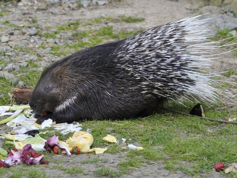 Gewöhnliche Stachelschweine ernähren sich unter anderem von Pflanzen und Früchten – Bild: Shutterstock / Christian Musat