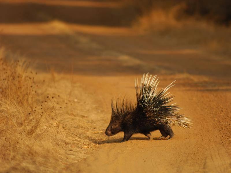 Außerdem fühlen sich Stachelschweine in vielen Lebensräumen wohl, ob Halbwüste oder Regenwald – Bild: Shutterstock / Julian W