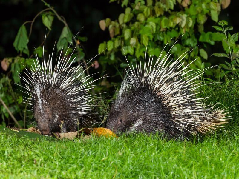 Die Stacheln sind das Markenzeichen dieser Tiere, die bis zu 40 Zentimeter lang werden können – Bild: Shutterstock / kajornyot