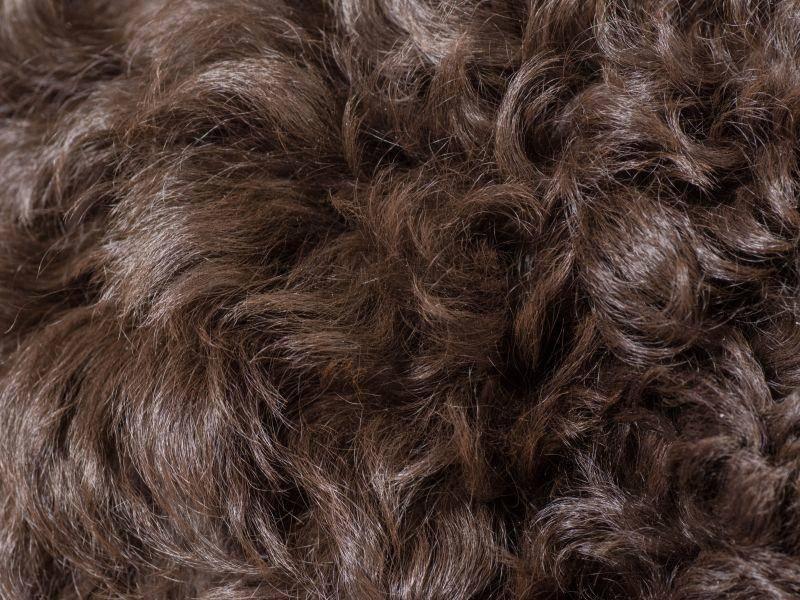Das Fell des Barbets ist wasserfest und für viele Allergiker geeignet – Bild: Shutterstock / WilleeCole Photography