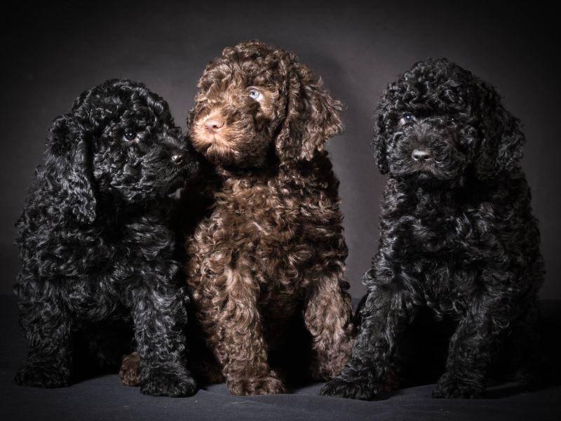 Französische Wasserhunde kommen in verschiedenen Farben vor. Häufig sind Schwarz und Braun – Bild: Shutterstock / WilleeCole Photography
