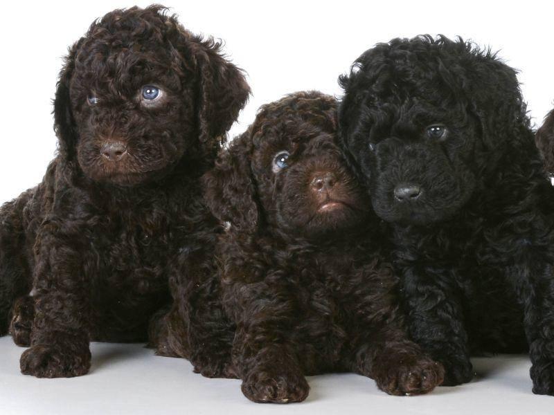 Schade, dass die niedliche Hunderasse so selten ist! – Bild: Shutterstock / WilleeCole Photography